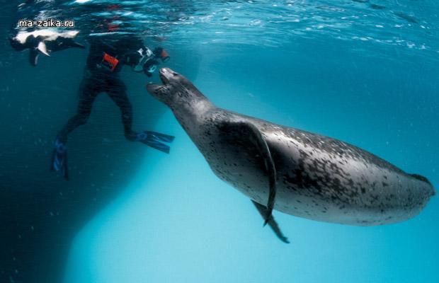 леопард морской фото