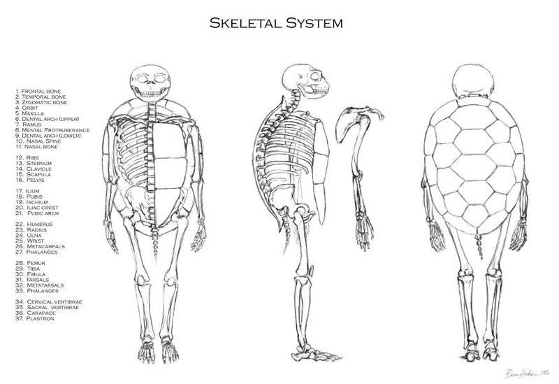 Turtle bones anatomy 643869 - follow4more.info