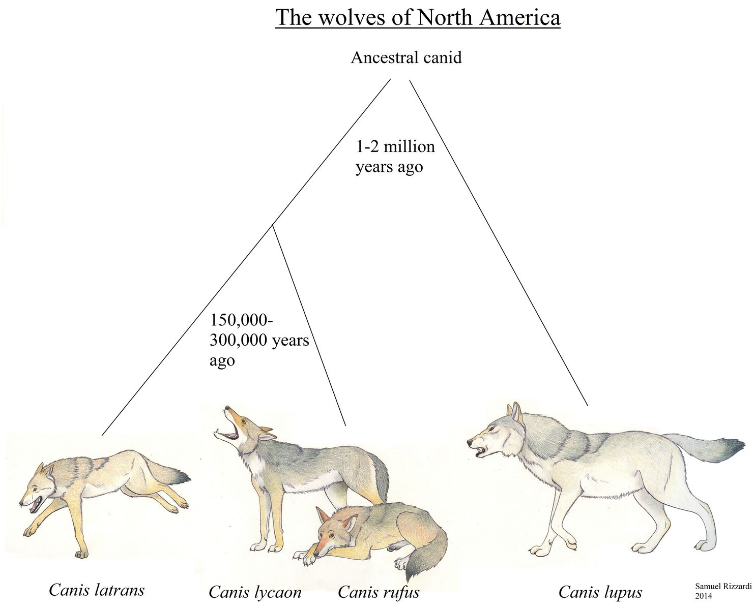 the importance of the wolf in the ecosystem of north america