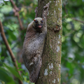 Colugo by Andrew Campbell.png