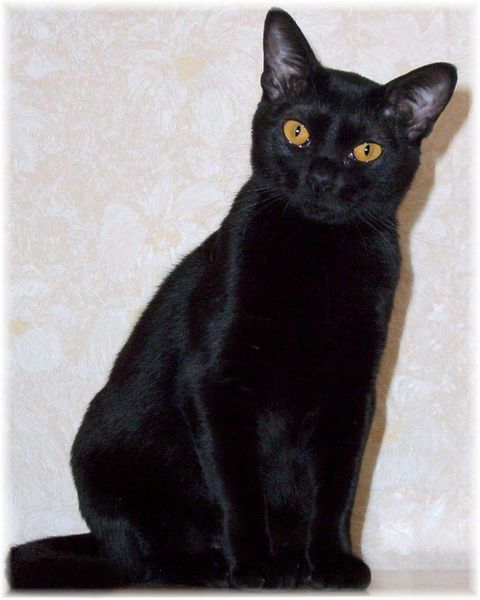 фото кот черный